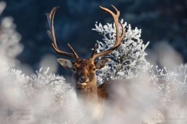 Fallow Deer buck in a wintery scene