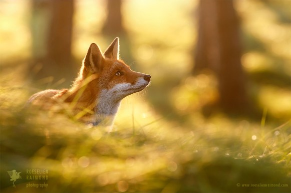 Red Fox in the Forest