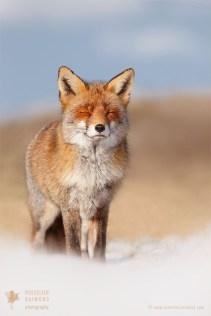 Zen Fox in the Snow