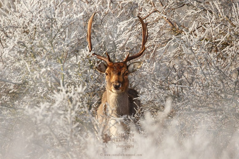 Fallow Deer and Hoar Frost