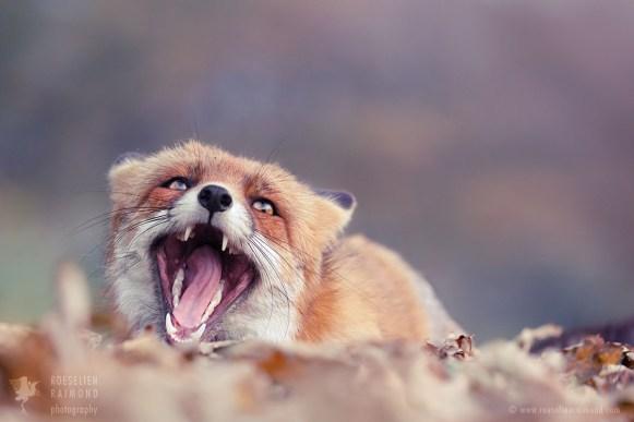 _X1B6627_funny_fox