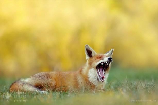 yawning_fox