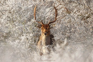 Fallow deer in the snow