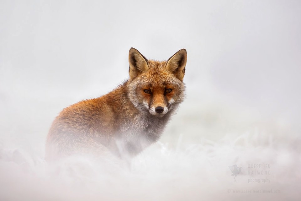 Red Fox and hoar frost