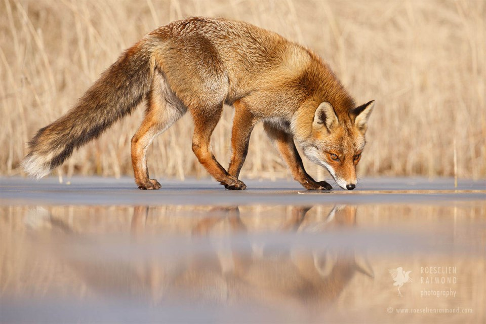 Red Fox on Ice