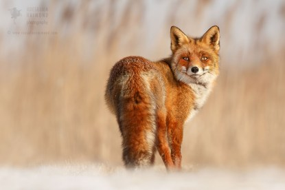Red fox on a snow blanket