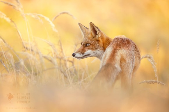 red fox summer
