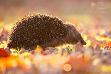 Backlit Hedgehog