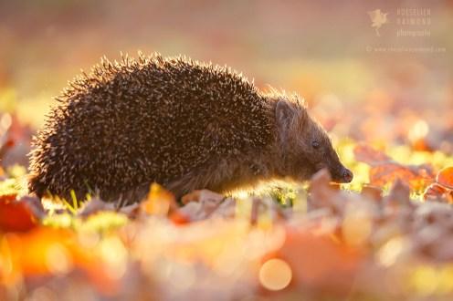 Backlit Hedgehog