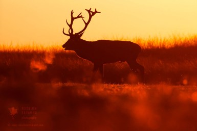 Red Deer at sunset