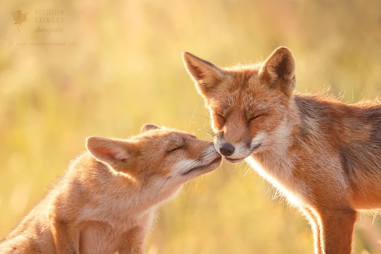 kiss love fox
