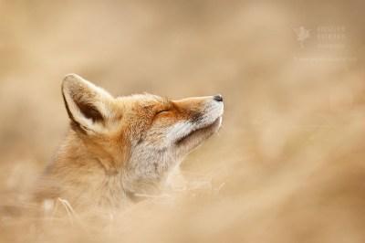 red fox eyes closed