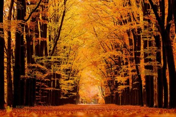 A beech lane in autumn colors.