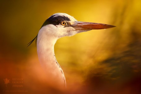 Blue heron at sunset