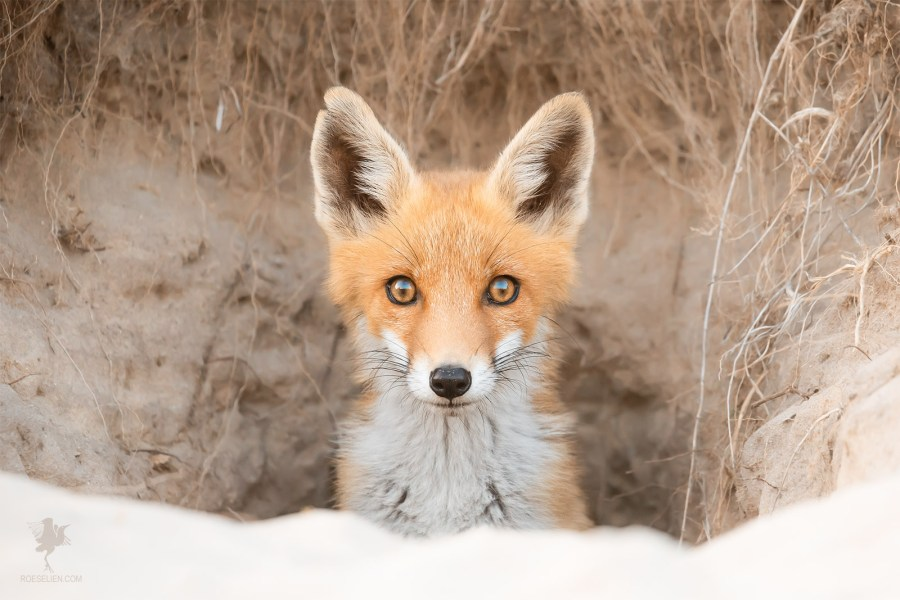 Cute red fox kit