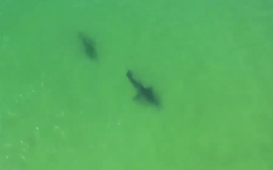 "Drone Video Captures 2 Great White Sharks ""Interacting"" off Cape Cod Coast"