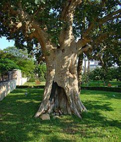 Zacchaeus tree.Palestine_Jericho
