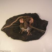 Rat on a Rock Looking Up