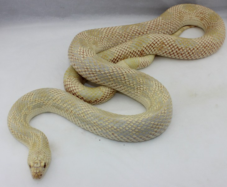 About Rogue's Breeder Snakes – Rogue Reptiles