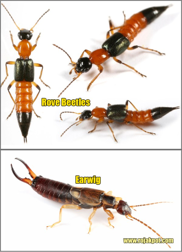 Comparison of Rove beetles and an Earwig
