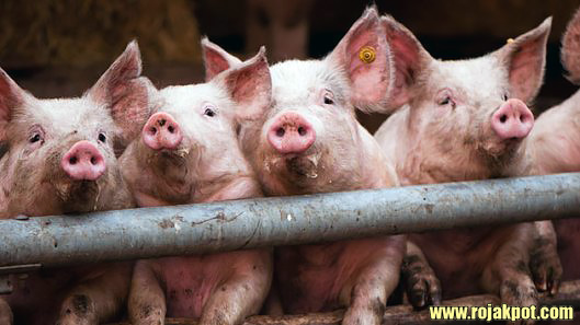 12 Scientific Reasons For Declaring Pigs Haram Debunked