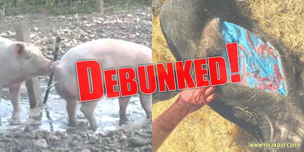 12 Scientific Reasons For Declaring Pigs Haram Debunked!