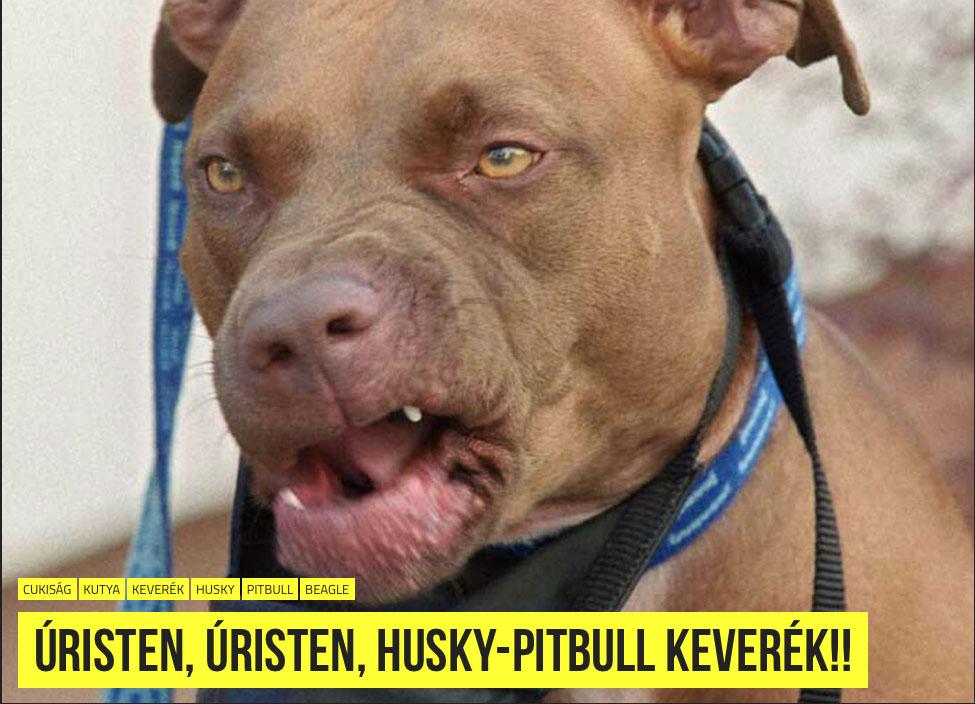 Bulldog Bites Pedophile Randle James Hoax Debunked - Husky pitbull dog