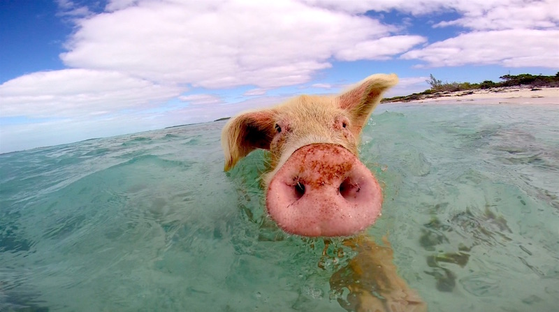 Sve čari brčkanja sa divljim svinjama: Prelepa plaža, čisto more i – prasići! (VIDEO)