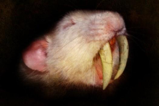 A Sabretooth Rat. Image by allison712