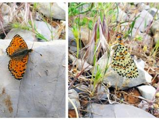 New butterfly species discovered Israel first time 109 years