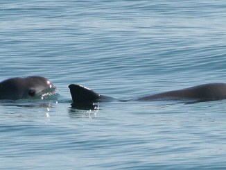 Scientists rescue first Vaquita porpoise, making conservation history