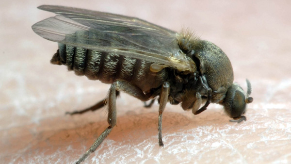 Image result for blackflies ontario