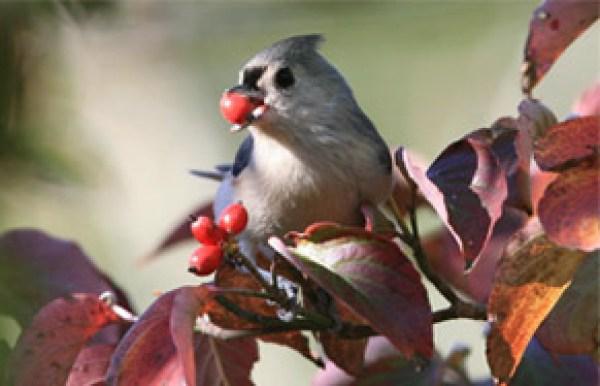 uccello che mangia bacche