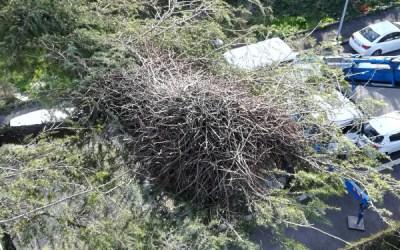Nido di pappagalli su un cedro in fase di potatura