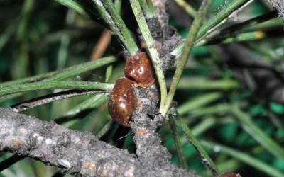 Toumeyella parvicornis, il nuovo pericolo per i pini di Roma