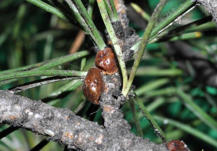 Toumeyella parvicornis, il grande pericolo per i pini di Roma