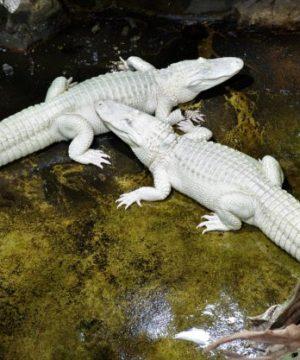 Alligators Laury et Dundy dans leur nouvelle fosse © Palais de la Porte Dorée Paris - Photo Anne Volery