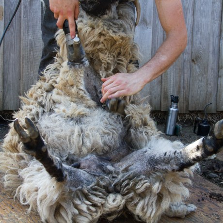 Shearing Day, 2014