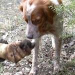 Truffle dog