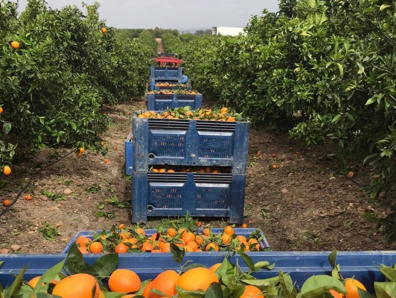 250 de români au sosit la muncă în agricultură la Lleida (Catalonia)