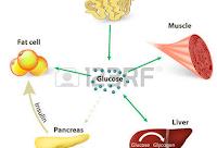 Photo of Csökkentett kalória bevitel esetén a szervezet válasza :a vércukor  és az inzulinszint csökkenése.