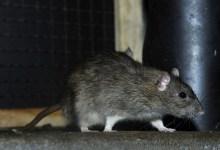 Photo of A városban élő patkányok igazi gourmet-k a vidékiekhez képest