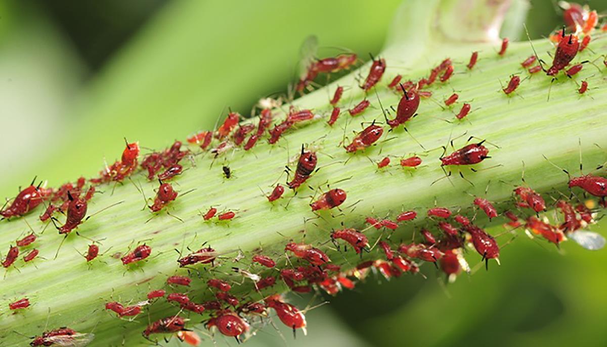 Combattere Afidi Delle Rose e' tempo di combattere le malattie delle piante - roncaglia