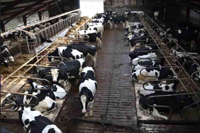 Custo elevado e descarte do leite são os prejuízos mais visíveis da mastite, doença que tira o lucro do produtor de leite