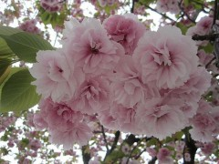 八重桜??