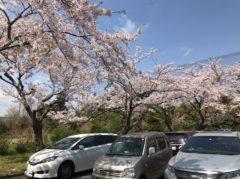 「さくらの里」駐車場も桜がすごい