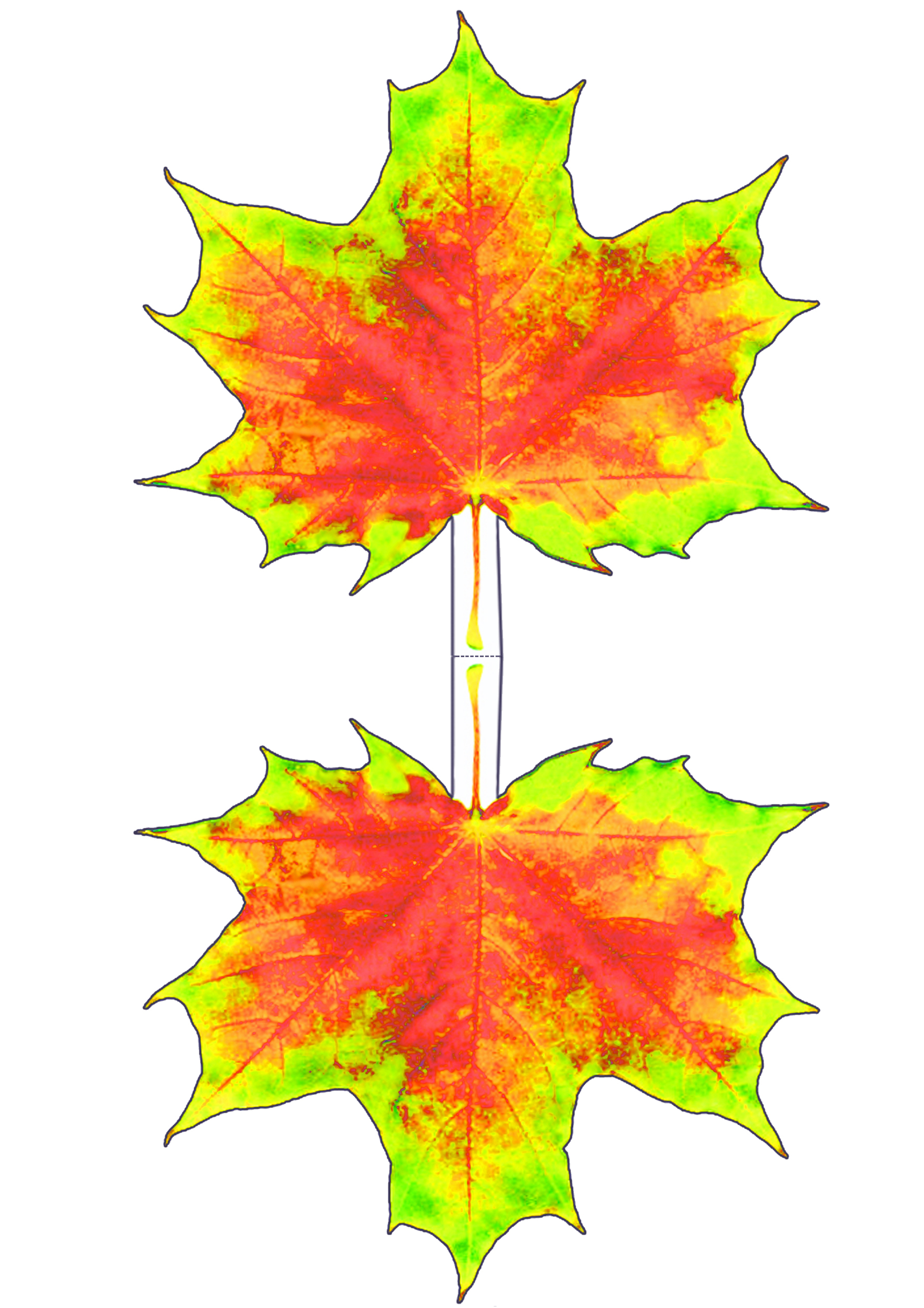 Yellow And Red Maple Leaf Decoration