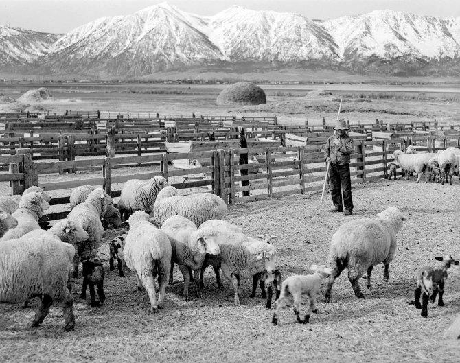 Basque sheepherder, Dangberg Ranch.Douglas County, Nevada. 1940.