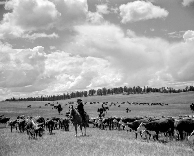 Roundup, Custer National Forest, Montana. Three Circle roundup 1939
