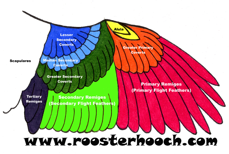 how to safely clip wings rooster hooch. Black Bedroom Furniture Sets. Home Design Ideas